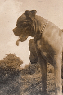 Champ, one of the first Boxer dogs in the country