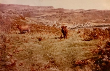 Highland cattle on Ulva